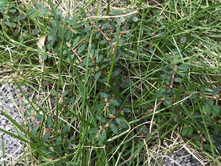 芝生の雑草:コニシキソウ
