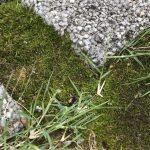 芝生のコケ