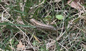 芝生の害虫:スジキリヨトウ