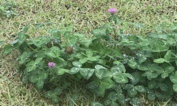 芝生の雑草:クローバー