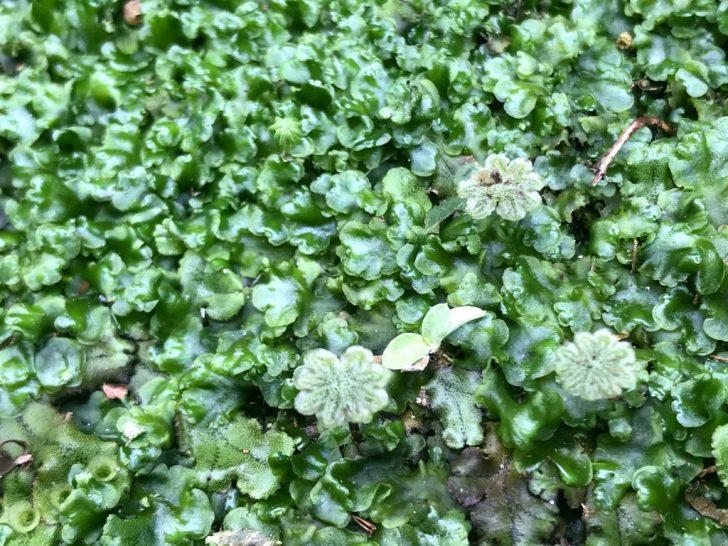 芝生の雑草:ゼニゴケ