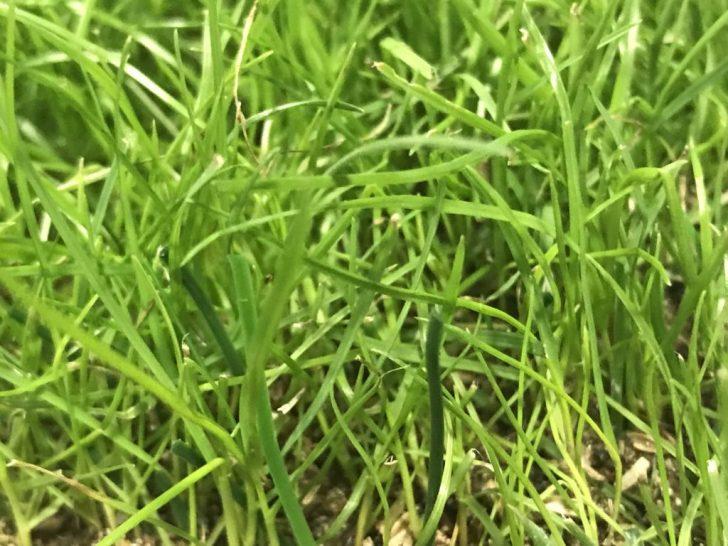 ハイブリッド芝のサンプル
