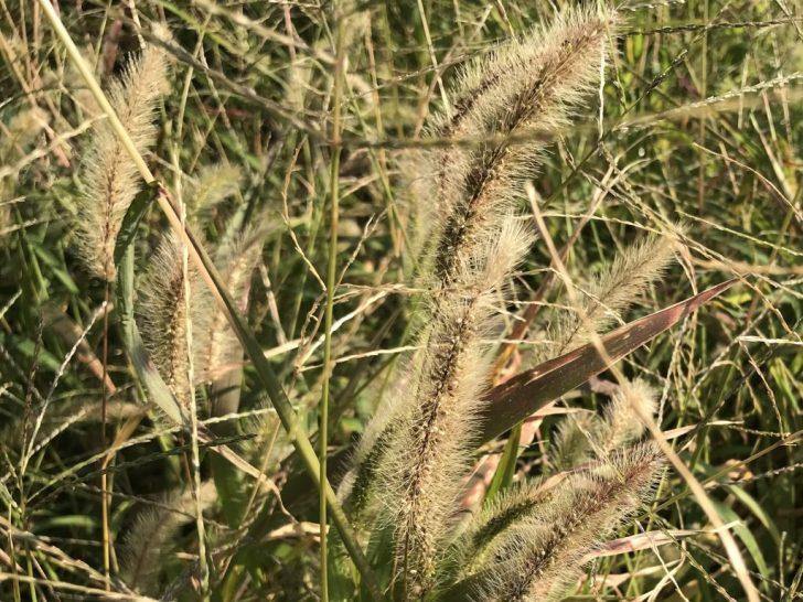 芝生の雑草:エノコログサ