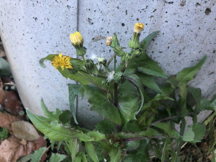 芝生の雑草:ノボロギク