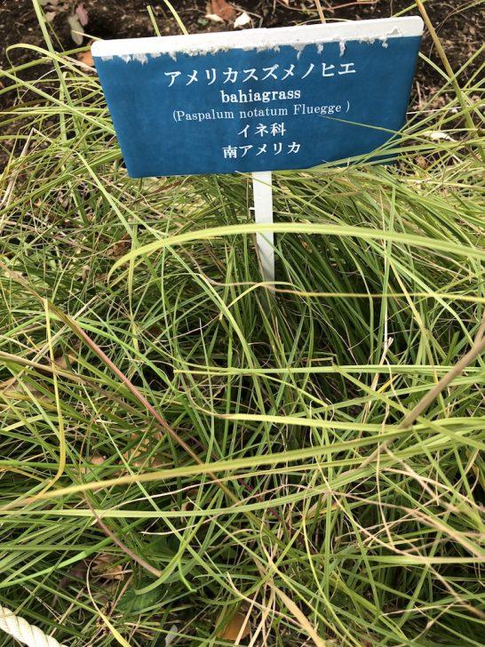 芝生の雑草:スズメノヒエ
