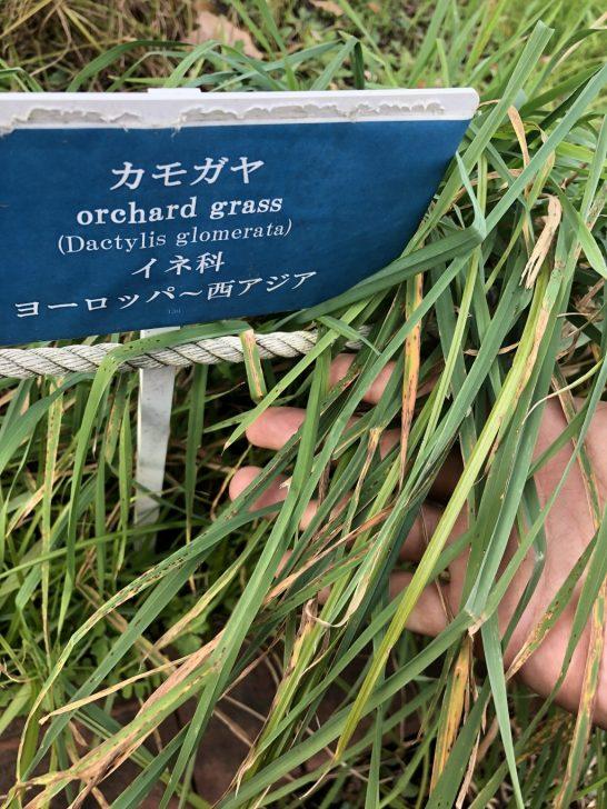 芝生の雑草:カモガヤ