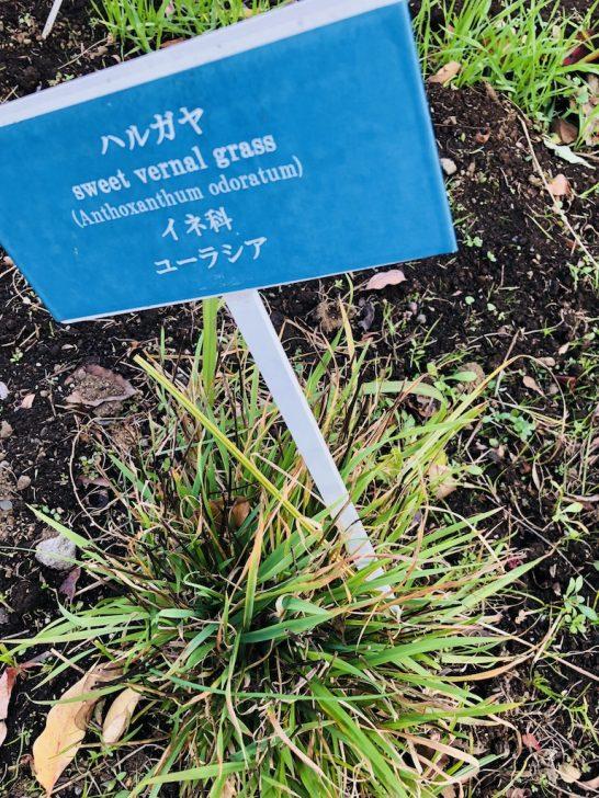 芝生の雑草:ハルガヤ