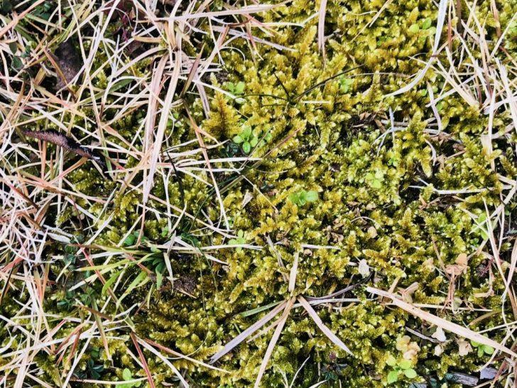 芝生に生えた苔