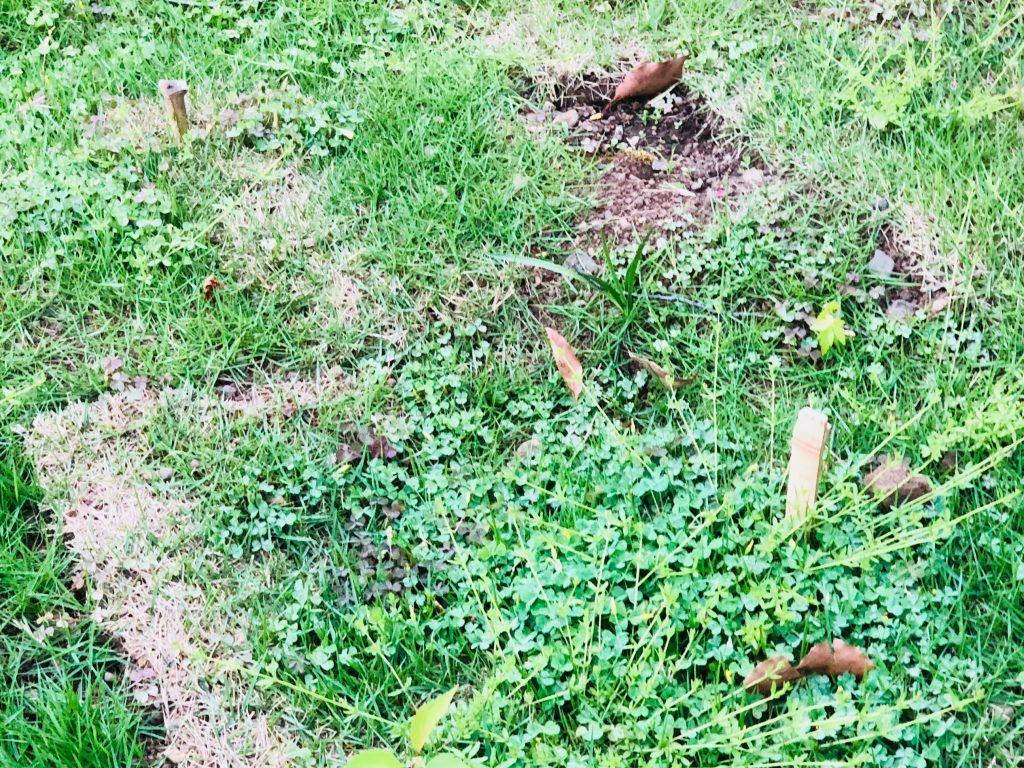 切り芝を固定する目串