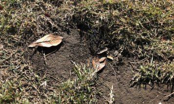 剥がれた芝