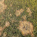 芝生の病気:ラージパッチ