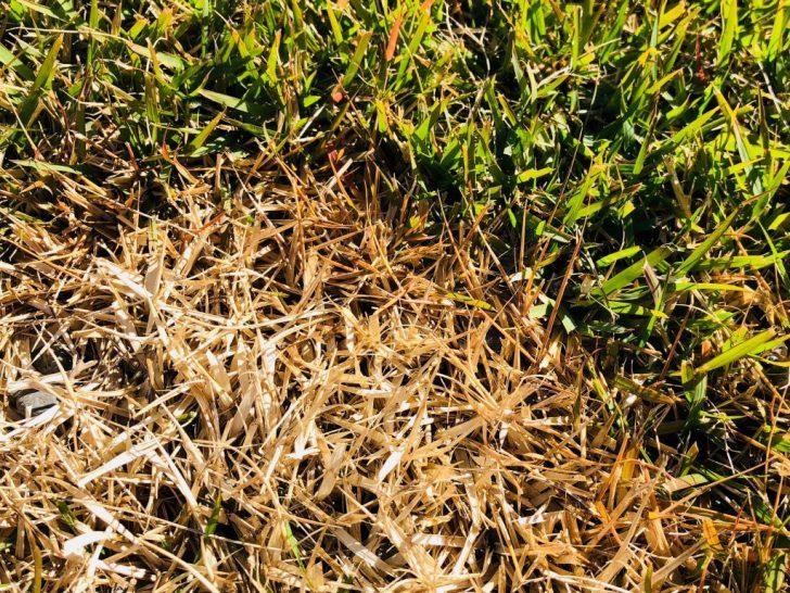 芝生の病気:ラージパッチの縁