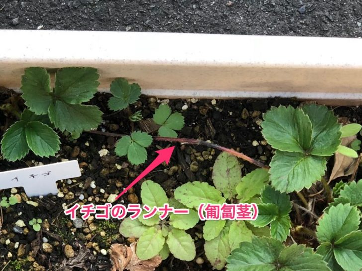 イチゴのランナー(匍匐茎