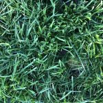 錦糸公園の西洋芝