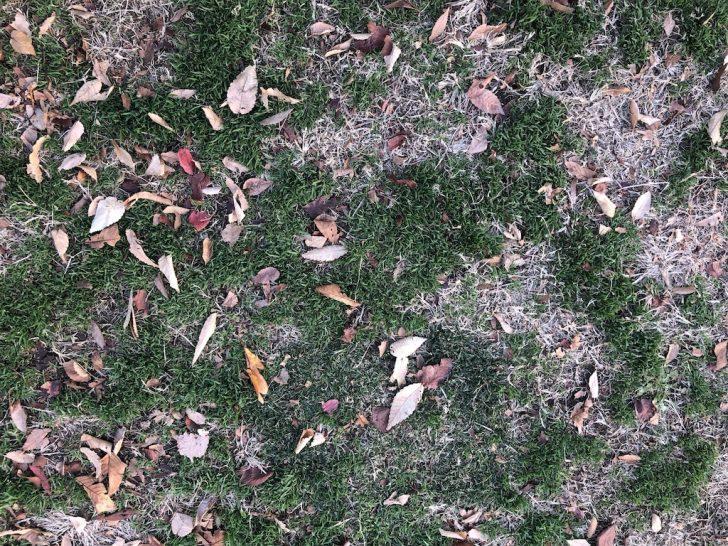 高麗芝と西洋芝の混合