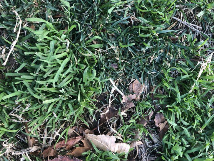 西洋芝の芝生