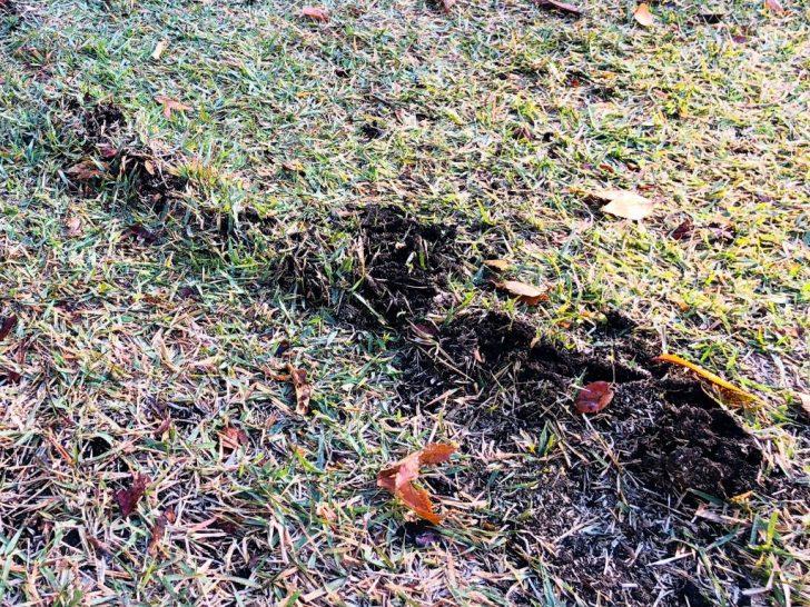 芝生のモグラ被害