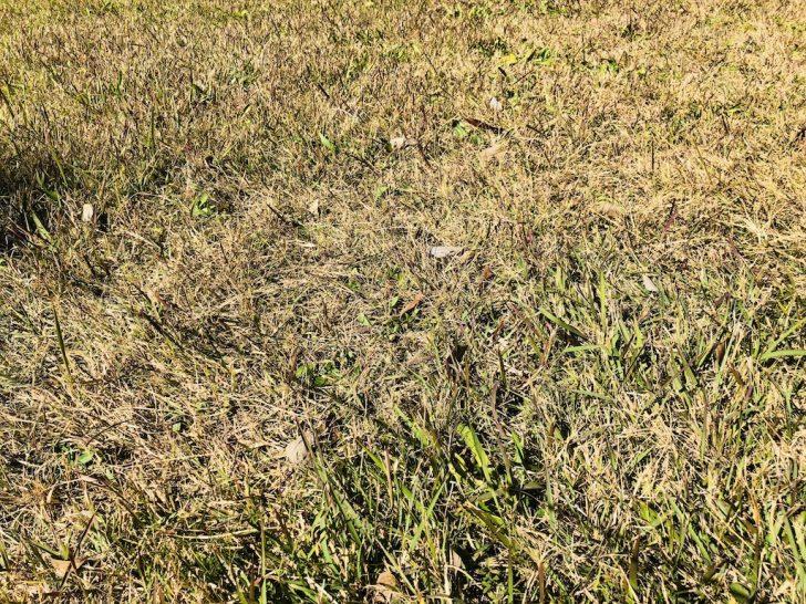 芝生の雑草