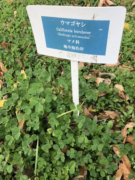 芝生の雑草:ウマゴヤシ