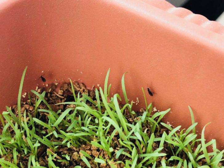 芝生の害虫:キノコバエ