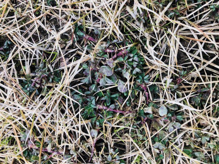 芝生の雑草:カタバミ