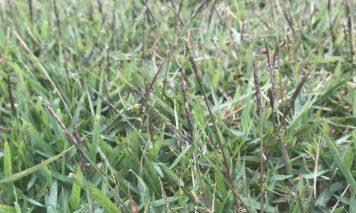 芝生(ノシバ)の穂