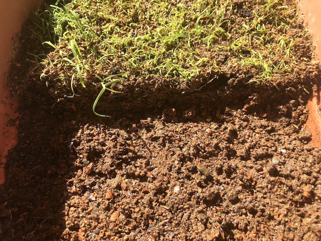 プランターの芝を剥がします