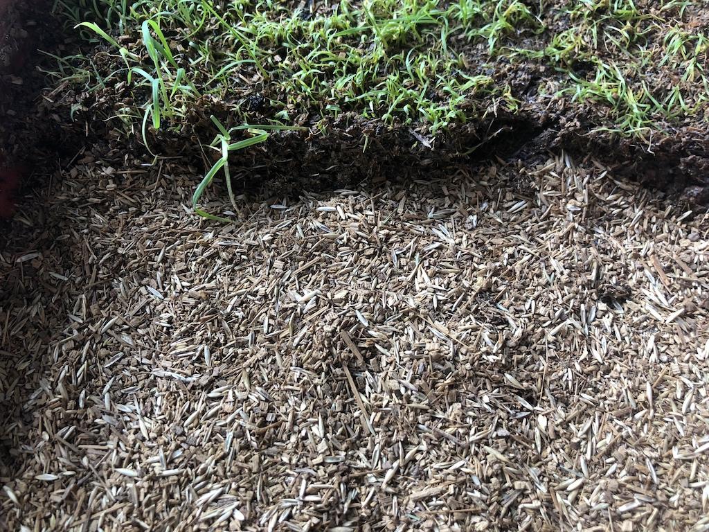 プランターに西洋芝の種まき