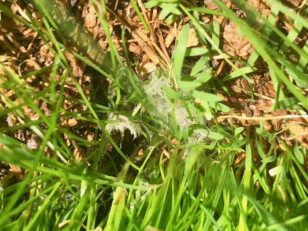 3種混合西洋芝の白カビ