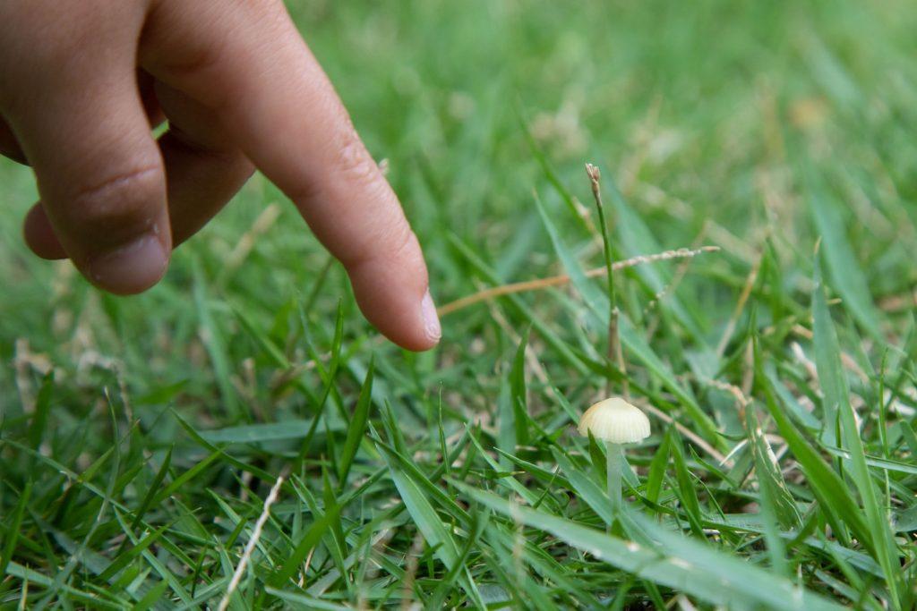 芝生のキノコ「シバフタケ」