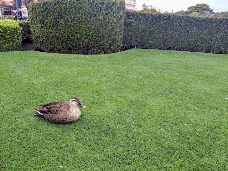 芝生とアヒル